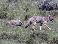the chase between the badger and the coyote who will win
