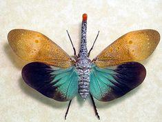 Pyrops pyrorhyncha... the lantern fly
