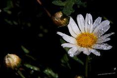 #Margarita #flores #flower