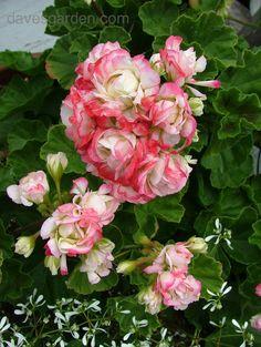 Apple Blossom Rosebud Geraniums