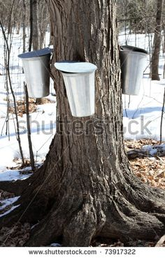 Find maple syrup tree stock images in HD and millions of other royalty-free stock photos, illustrations and vectors in the Shutterstock collection. Maple Syrup Tree, Tree Images, Vectors, Deer, Royalty Free Stock Photos, Layout, History, Painting, Cabins