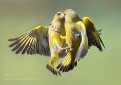 Fighting European Greenfinch by scholtensjohan via http://ift.tt/1SdoGxv
