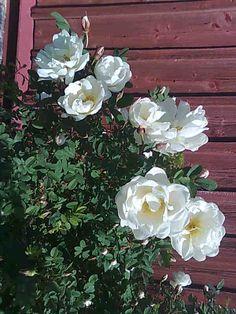 White roses - Midsummer roses