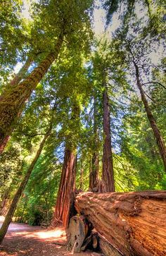 California's redwood forests