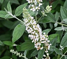 Buddleia Lo & Behold® Ice Chip - White Flower Farm