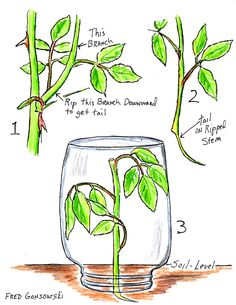 Starting a Rose Bush and other plants from a Cutting (Slip)
