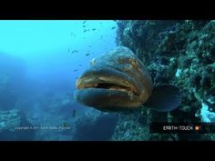 http://www.earth-touch.com They're the undisputed rulers of Lake Malawi - meet the diverse & colourful cichlid fish (00:50)! The Earth-Touch crew also films dolphins racing after their sardine prey (04:40) & some of the amazing marine animals that inhabit a reef environment off the South African coast (06:50).