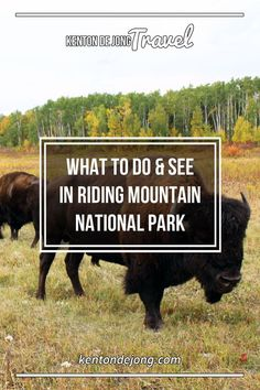 What to See and Do in Riding Mountain National Park · Kenton de Jong Travel - There is a change in the air. T-shirts are being replaced by bunny hugs and coffees are being replaced by pumpkin spice lattes. For a few weeks, th. Clear Lake Manitoba, Riding Mountain National Park, Canadian Christmas, Canadian Travel, Urban Park, Camping And Hiking, Historical Sites, Travel Inspiration, National Parks
