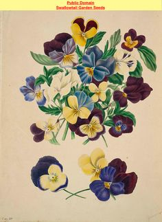 Pensees, or Heart's Ease (Viola tricolor). The beauties of flora- with botanic and poetic illustrations, being a selection of flowers drawn from nature arranged emblematically- with directions for colouring them by Gleadall, Eliza Eve (1834).