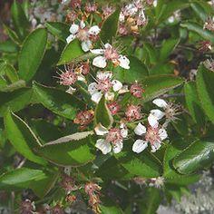 Flowers of Aronia melanocarpa - black chokeberry