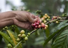 Wayan Dira picks robusta coffee beans on his plantation January 20, 2011 in Pupuan village, Bali, Indonesia. (Photo by Paula Bronstein /Getty Images)