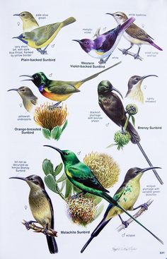 Additional Artwork like the female sunbird heads Animal Species, Bird Species, Bird Drawings, Animal Drawings, Bird Guides, Bird Identification, Bird Poster, Nature Artists, Kinds Of Birds