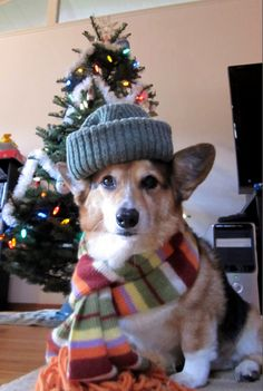 It's not even December and we're already seeing a swarm of Christmas-y Corgi pics. Let the holidays begin! :D