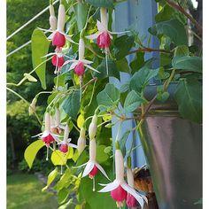 Fuchsia German Pearl