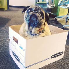 """12 Likes, 1 Comments - Modernistic Cleaning (@modernistic_cleaning) on Instagram: """"Our #officepug Eddie likes to """"help"""" with our paperwork from time to time #modernisticpuppies #pug…"""""""
