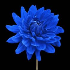 """Blue Dahlia Flower Black Background"" by Natalie Kinnear: Blue wall art. Blue flower black background wall art canvas and print. This is a square format, colour photographic image of a digitally coloured blue Dahlia flower set against a black background. ..."