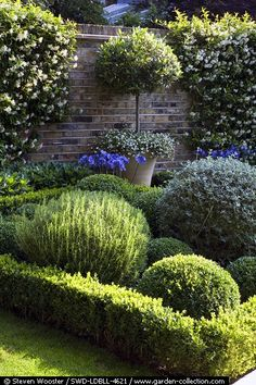 Inspiration for my front yard. Formal garden with clipped Buxus Sempiverens, Rosmarinus officinalis, Lavandula Angustifolia and Teucrium fruiticans. Trachelospermum jasminoides flowering on the wall - Lotte Lorimer Garden