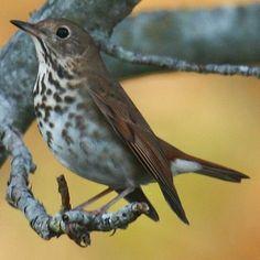 Pictures of State Birds: Vermont State Birds, Beautiful Birds, Vermont, Piercing, Tattoo Ideas, Weather, God, Flower, Tattoos