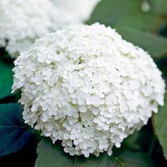 """Die Annabelle-Hortensie ist eine leicht anzubauende Blumenart, sie blüht im Hochsommer mit großen, weißen Clustern, die perfekt zum Schneiden sind.  Name: Hydrangea arborescens """"Annabelle""""  Wachstumsbedingungen: Halbschatten und feuchten, gut durchlässigen Boden.  Größe: bis 1,5 Meter hoch und breit."""