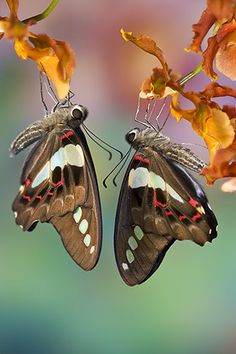 Graphium sarpedon butterflies