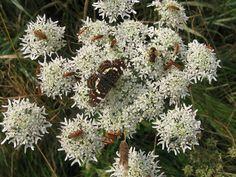 Gewone berenklauw met Landkaartje en andere insecten  -  Heracleum sphondylium