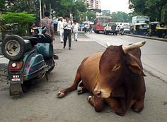 Ритуал поклонения корове в Индии настолько силён, что места, где пребывает корова, считаются энергетически очищенными. Коровий навоз в стране, используется для очищения домов и посуды, из него делают даже мыло. А деревенские жители сушат коровьи лепёшки на крышах домов, после чего используют их как дрова, для растопки печей  в которых готовится пища.