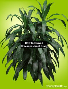 Indoor Gardening Quick, Clean Up, And Pesticide Free - Make Your Own Dracaena Janet Craig Is One Of The Easiest Indoor Trees. Instructions to Grow Care Guide At Sun Plants, Fruit Plants, Rare Plants, House Plants, Dracaena Plant, Janet Craig Plant, Easy Care Houseplants, Growing Plants Indoors