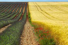 https://flic.kr/p/Az1JKA | Valensole: fields of lavender | Plateau de Valensole, or Plateau des Lavandes (Provence - Alpes - Cote d'Azur, France) - Fields of lavender, wheat  and poppies