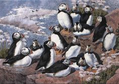C F Tunnicliffe - A Group Of Puffins On A Rock Among Thrift