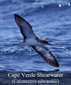 For many years the the Cape Verde and Cory's Shearwater were viewed as one, but after extensive research, many differences between the two have been identified. As these two groups are often found together, it is clear that the Cape Verde Shearwater is significantly smaller than his counterpart, with a lighter build and with darker plumage and much darker coloring of the head. Their bills also differ, in that the Cape Verde has a lighter bill and is gray horn colored, on closer inspection.