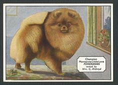 1934 RARE POMERANIAN WESTMINSTER TOBACCO CHAMPION DOGS CIGARETTE CARD