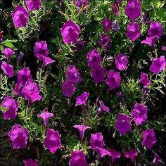 200+ Wild Petunia Flower Seeds , Under The Sun Seeds