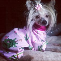 Chinese crested /ChaCha LaRue