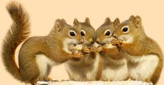 Four baby squirrels on a birch log sharing some sunflower seeds Squirrels http://ourbeautifulworldanduniverse.com/squirrels.html