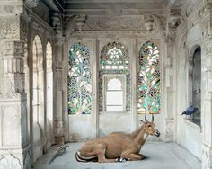 After a life-changing journey to Rajasthan in 2008, artist Karen Knorr wanted to celebrate the visual richness found in the fables, myths and stories of northern India using sacred and secular sites to highlight the caste system, femininity and its relationship with the animal world.  photographed separately in sanctuaries and zoos.
