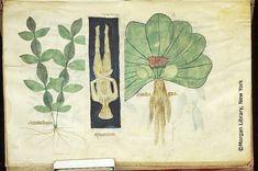 Compendium Salernitanum, M.873 fol. 61v - Images from Medieval and Renaissance Manuscripts - The Morgan Library & Museum
