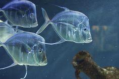 """""""glass"""" fish in Monaco aquarium."""