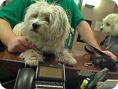 Rancho Cucamonga, CA - Maltese/Poodle (Miniature) Mix. Meet HAHA, a dog for adoption. http://www.adoptapet.com/pet/14820243-rancho-cucamonga-california-maltese-mix