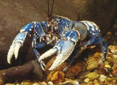 Depression Crayfish. | Crayfish | Pinterest