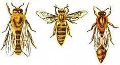 Οι τρεις κάστες μελισσών της κυψέλης http://waxcreations.gr/paragwgos.html