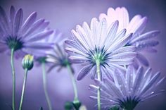 Beautiful Flowers - Lovely, Close up, Camomiles, Purple