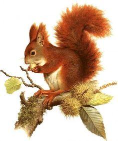 Atlas živočíchov: veverica stromová - Na túru s NATUROU