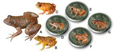 Seven new discoveries: A. Radcliffe's Night Frog (Nyctibatrachus radcliffei), B. Athirappilly Night Frog (Nyctibatrachus athirappillyensis), C. Kadalar Night Frog (Nyctibatrachus webilla), D. Sabarimala Night Frog (Nyctibatrachus sabarimalai ), E. Vijayan's Night Frog (Nyctibatrachus pulivijayani), F. Manalar Night Frog (Nyctibatrachus manalari), G. Robin Moore's Night Frog.  (Photo credit SD Biju).