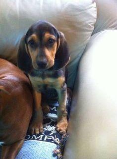 Adoptable Black Amp Tan Coonhounds On Pinterest Animal Shelter 2 Yea