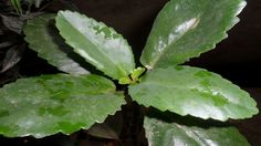 Leaf of life/Miracle leaf -- get rid of kidney stones naturally