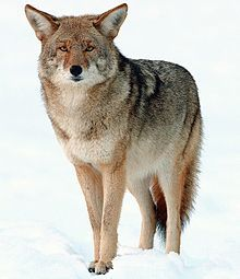 The coyote is a canid native to North America. It is a smaller, more basal animal than its close relative, the gray wolf,[2] being roughly the North American equivalent to the Old World golden jackal, though it is larger and more predatory in nature.