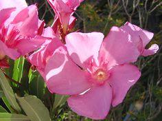 OLEANDER HAUS  Nerium Oleander Gotsis Argos Nerium, Argos, Plants, Gardening, House, Argus Panoptes, Plant, Argo, Planting