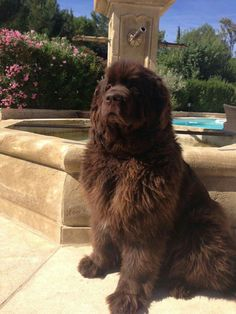 Brown Newfoundland/ My Macci-Toes-Toes-Toes!!!