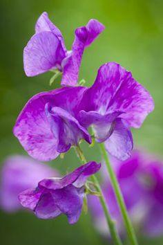 Lathyrus odoratus 'Memories'