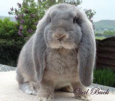 Opal buck. French lop eared rabbit